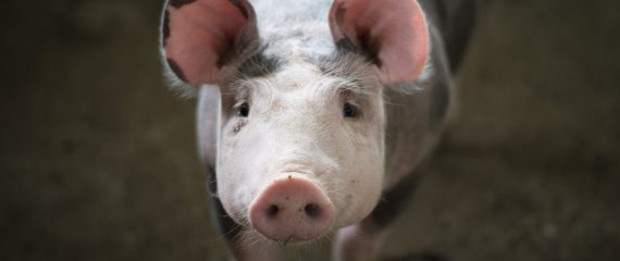 Munca in Danemarca, la ferma de porci