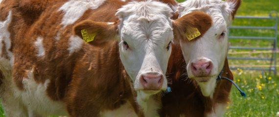 Lucratori calificati intr-o ferma de vaci
