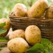 Praca w Danii - Sortowanie ziemniaków, mile widziane pary