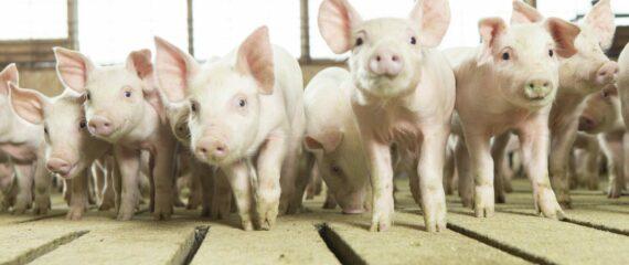 Darbas Danijoje kiaulių fermoje