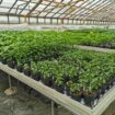 Job in Denmark for workers in greenhouses