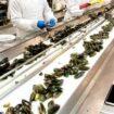 Darbas Danijoje midijų fabrike - rūšiavimas, pakavimas