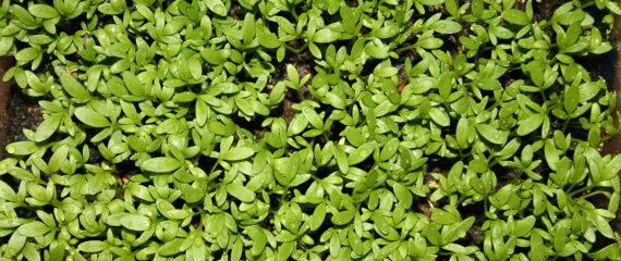 pipirniu auginimo siltnamis